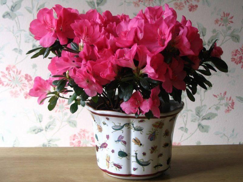 Капризная красавица азалия: как обеспечить уход за ней в домашних условиях после покупки?