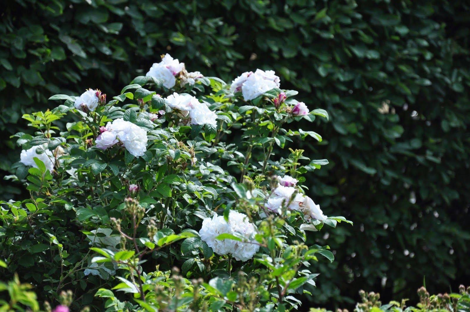Посадка и уход за канадской парковой розой луиза багнет: агротехника