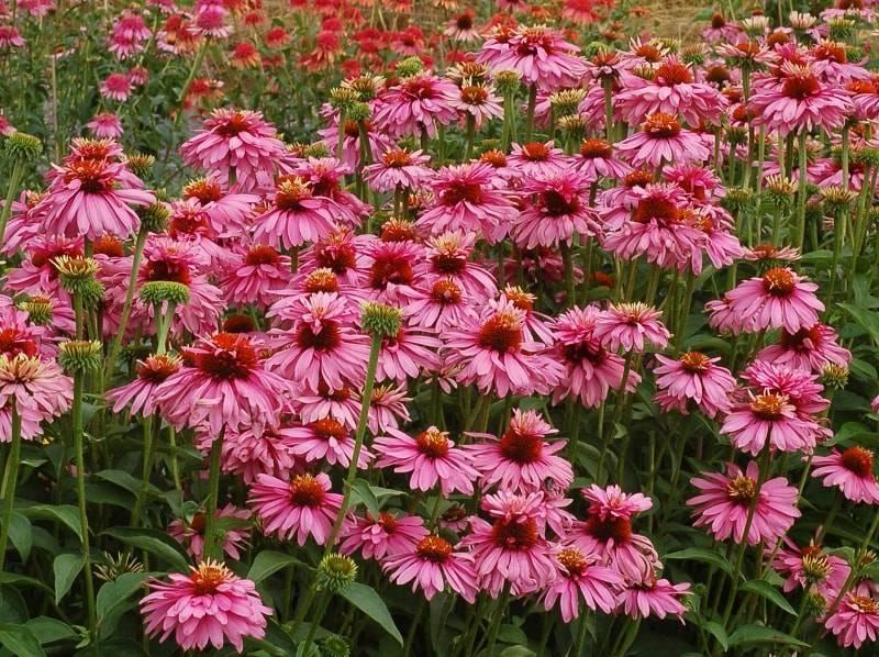 Эхинацея пурпурная – посадка, уход, лучшие новые сорта