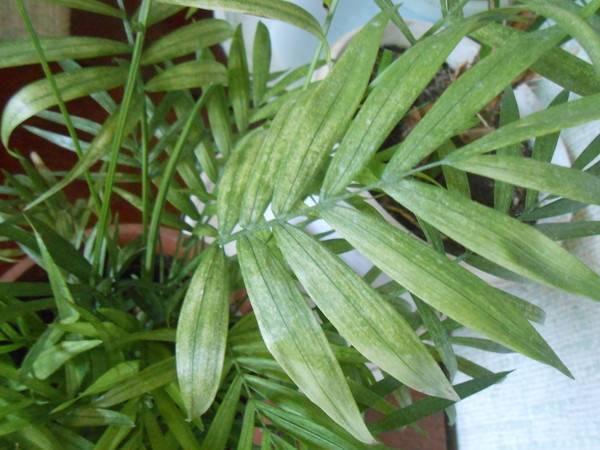 Засыхают листья у хамедореи: какие причины, болезни, вредители, что предпринять