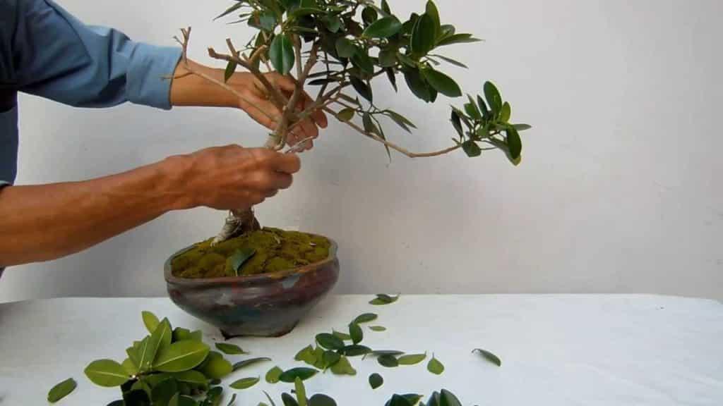 Бонсай из фикуса бенджамина (20 фото): особенности пошагового формирования бонсай из фикуса бенджамина своими руками, советы для начинающих