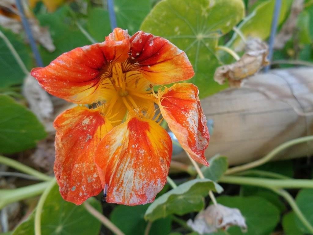 Болезни гортензии — желтеют или чернеют, сохнут листья
