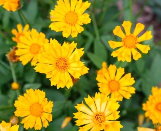 Кореопсис санбарст — неприхотливый цветущий многолетник в вашем саду