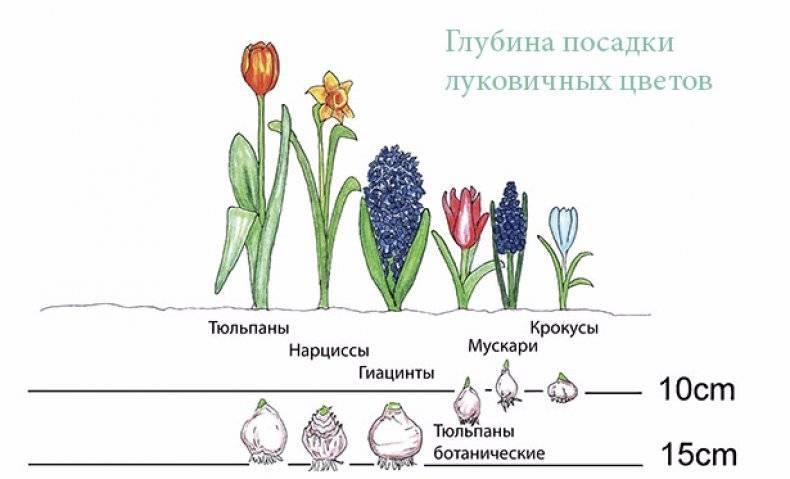 Цветы подснежники: посадка и уход в открытом грунте, фото, выращивание, виды и сорта