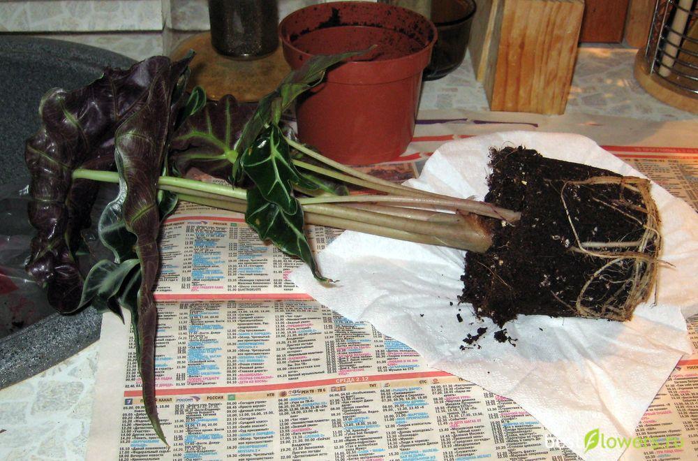 Алоказия - уход в домашних условиях, фото, размножение
