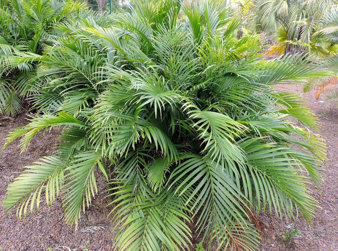 Пальма хамедорея: размножение в домашних условиях семенами и отростками