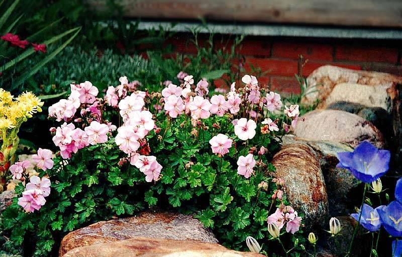 Садовая многолетняя герань, посадка и уход за ней