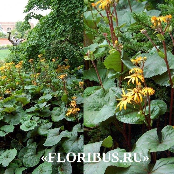 Бузульник пржевальского (38 фото): описание, посадка и уход в открытом грунте, использование в ландшафтном дизайне сада