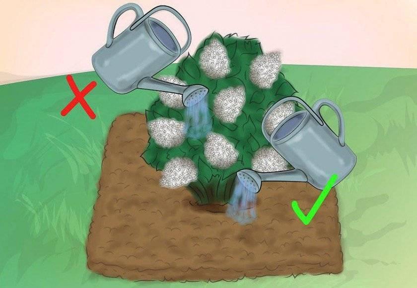 Полив гортензии осенью, для цвета. чем поливать гортензию советы