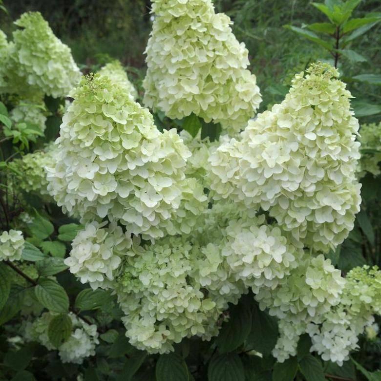 Посадка гортензии мэджикал файер: подбор места, полив и подкормка цветка