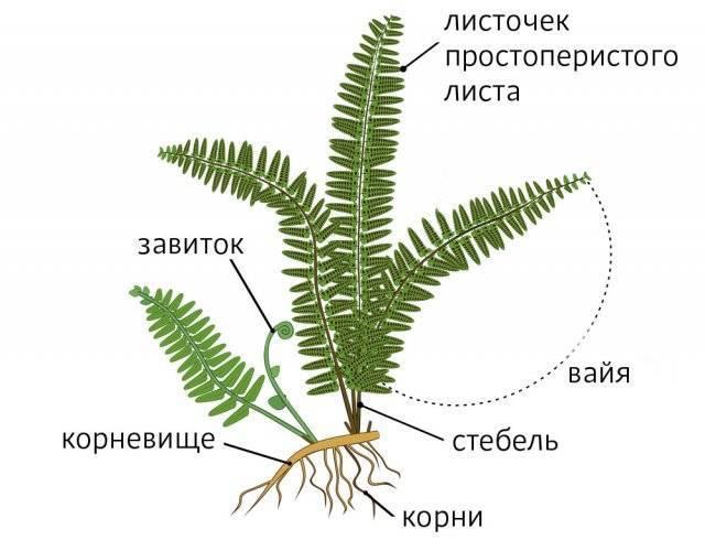 Папоротники -  биология егэ