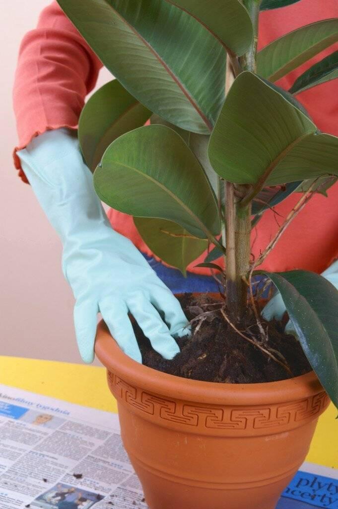Фикус наташа: особенности сорта, правила ухода, особенности выращивания