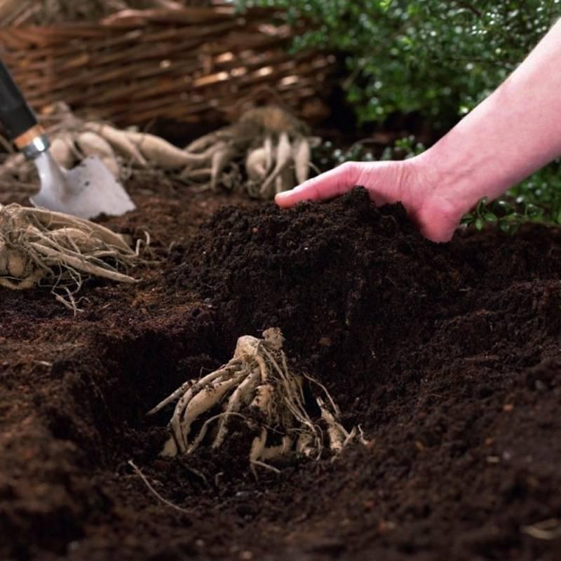 Крокосмия: выращивание и уход