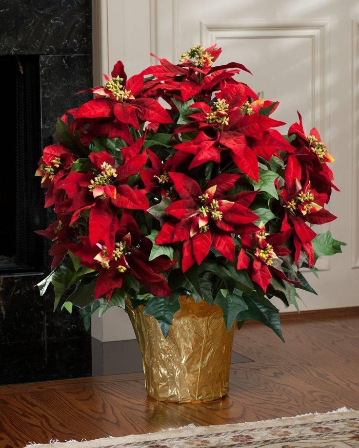 Как ухаживать за цветком рождественская звезда (пуансеттия) :: инфониак