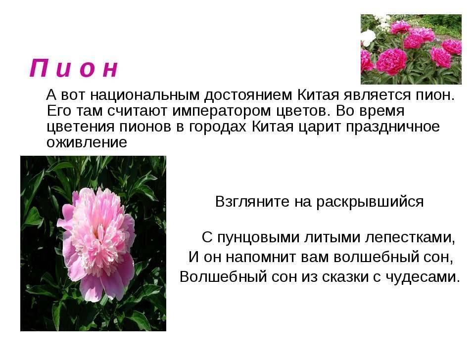 Почему не цветут пионы – 6 возможных причин