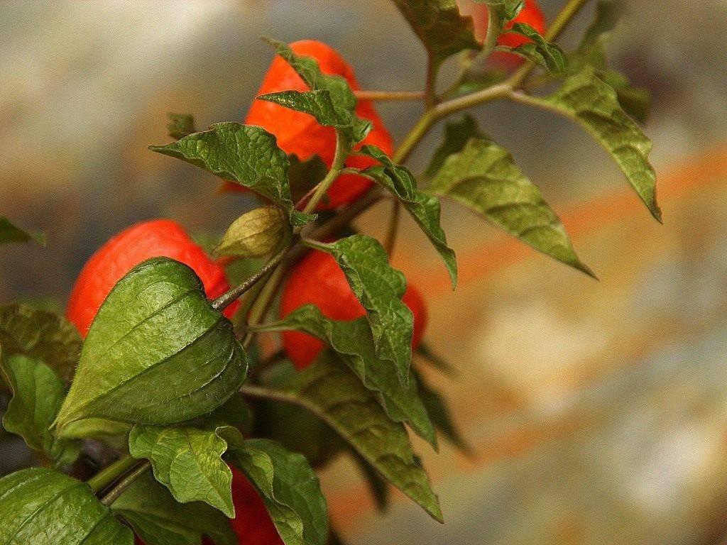 Физалис: особенности выращивания и ухода