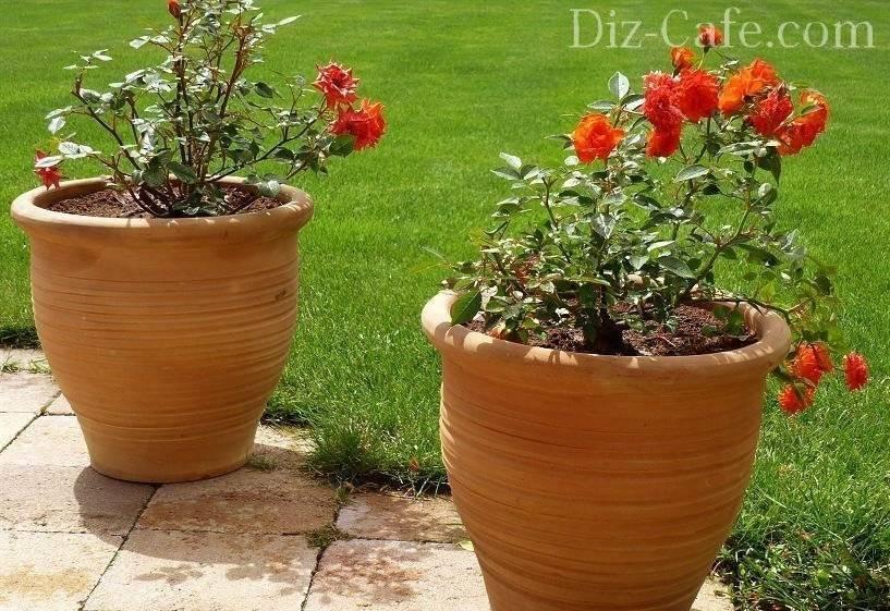Посадка розы в домашних условиях и уход за ней