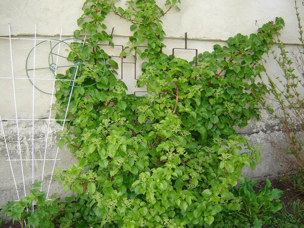 Гортензия черешковая или плетистая, вьющаяся лиана: посадка и уход в подмосковье