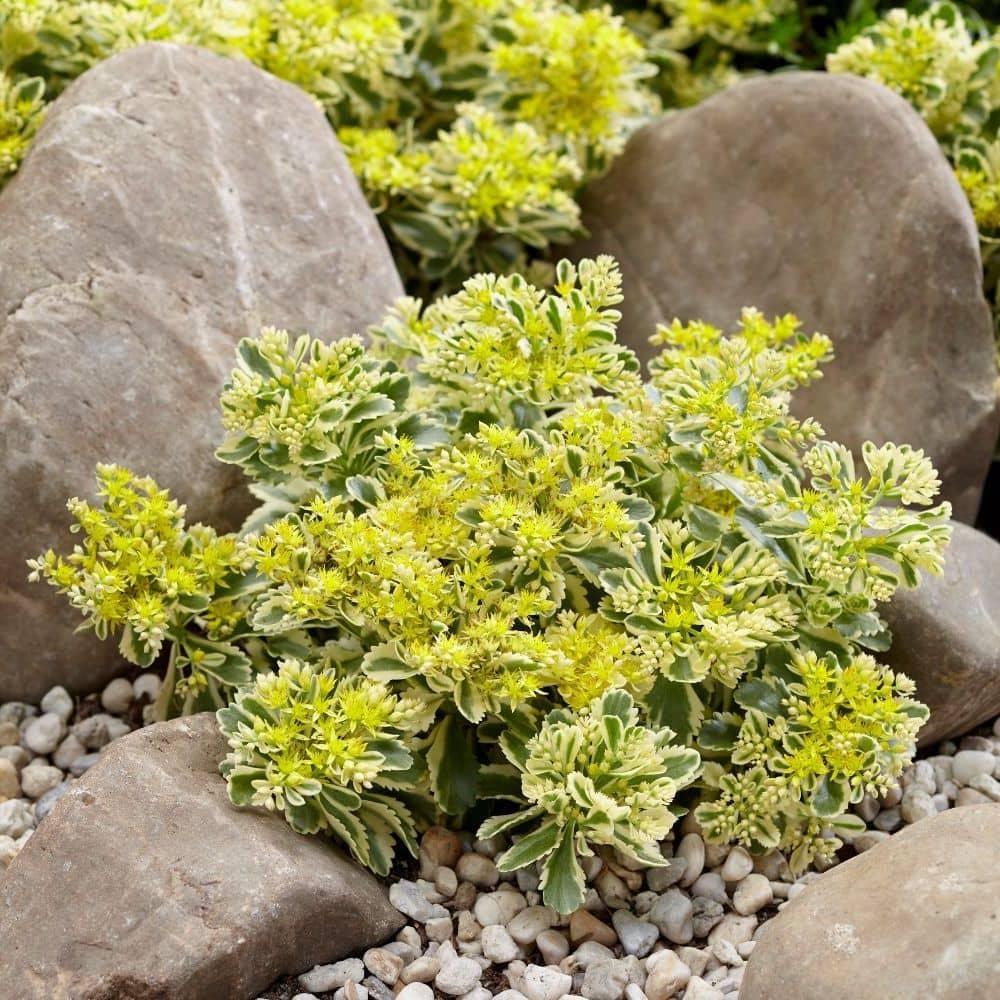 Растение седум (очиток): виды комнатных цветов, уход в домашних условиях, размножение растений