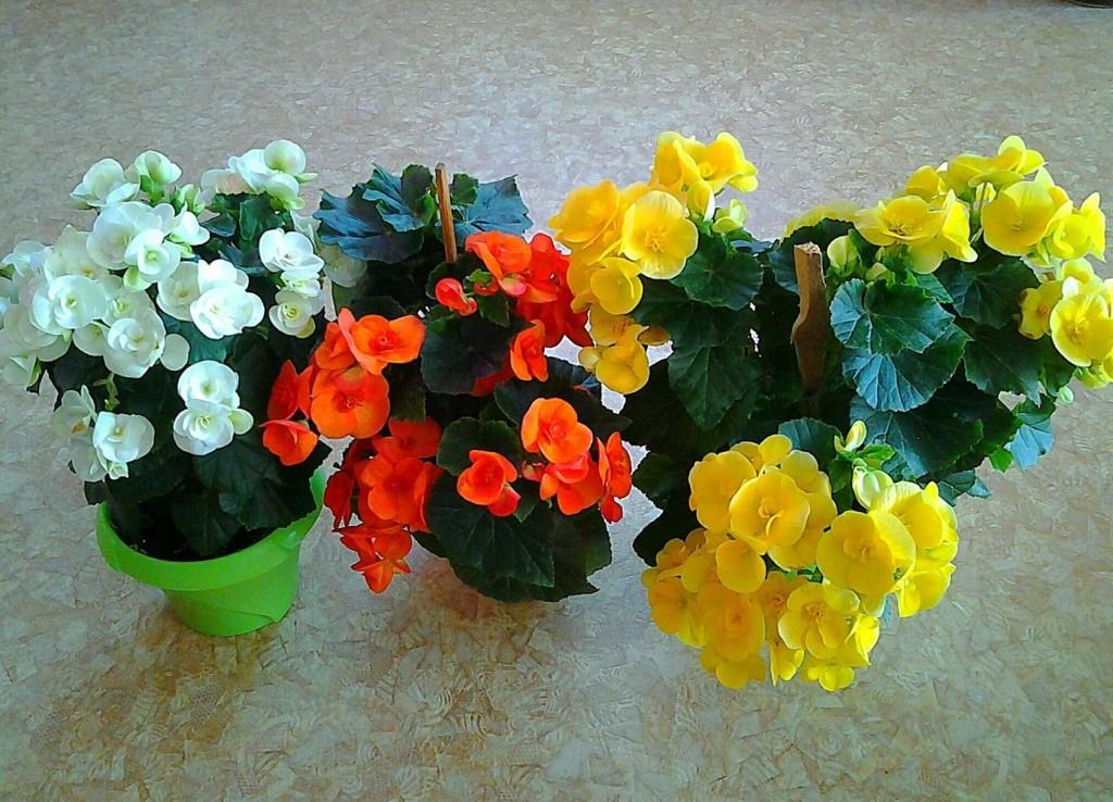 Бегония элатиор: как ухаживать за нежным цветком