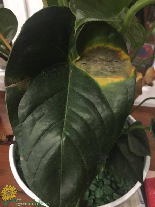 Почему желтеют листья у антуриума?
