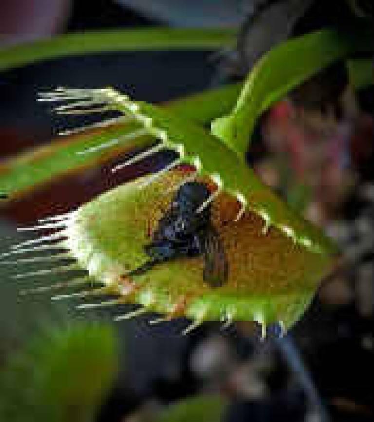 Флористическая хищница: венерина мухоловка