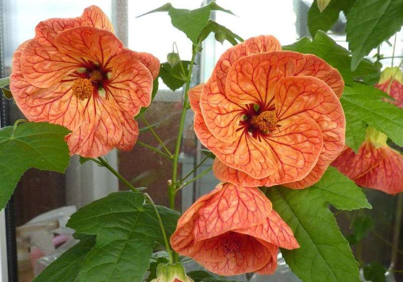 Абутилон (abutilo) – комнатное растение