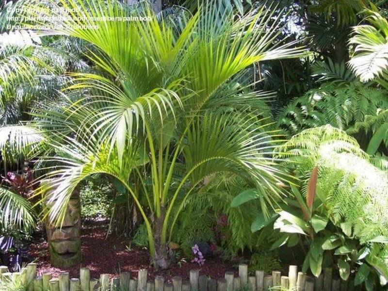 Пальма ховея: уход в домашних условиях, фото видов, болезни и другие проблемы при выращивании