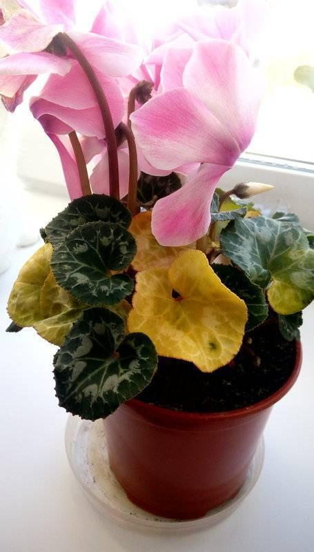 Уход за цикламеном дома: почему желтеют листья во время цветения, что делать