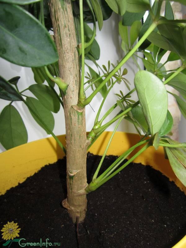 Варианты размножения шеффлера: черенками, листом и другие примеры