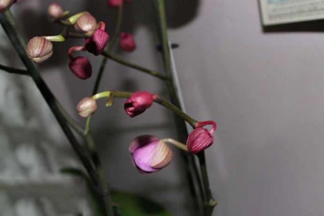 Отвечаем, почему у орхидеи опадают нераспустившиеся бутоны
