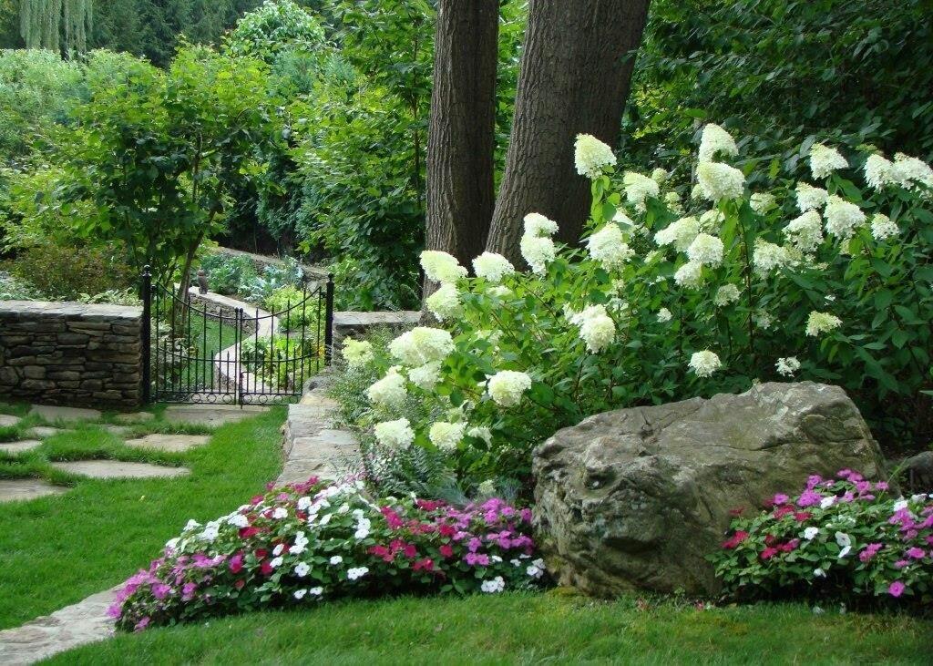 Гортензия на клубме: композиция метельчатой гортензии с хостой и хвойными в саду
