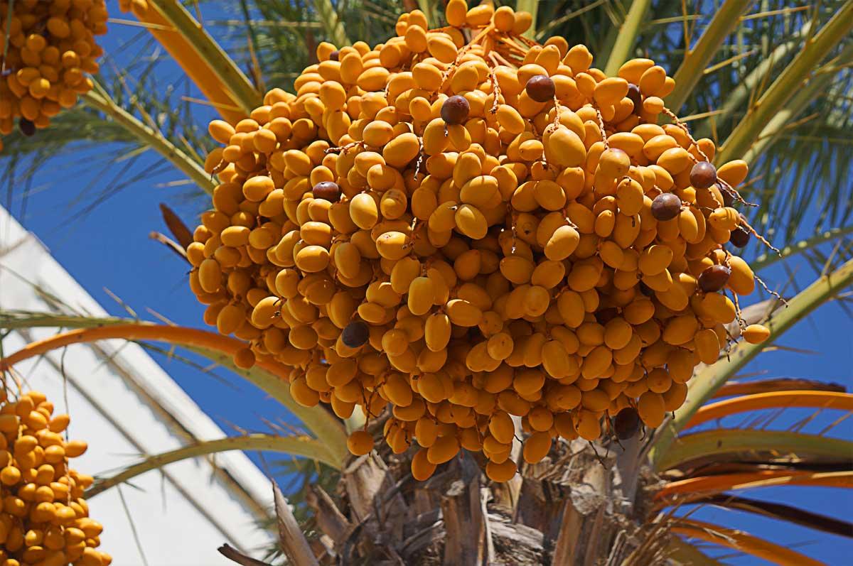 Финиковая пальма: описание и выращивание в домашних условиях - энциклопедия цветов