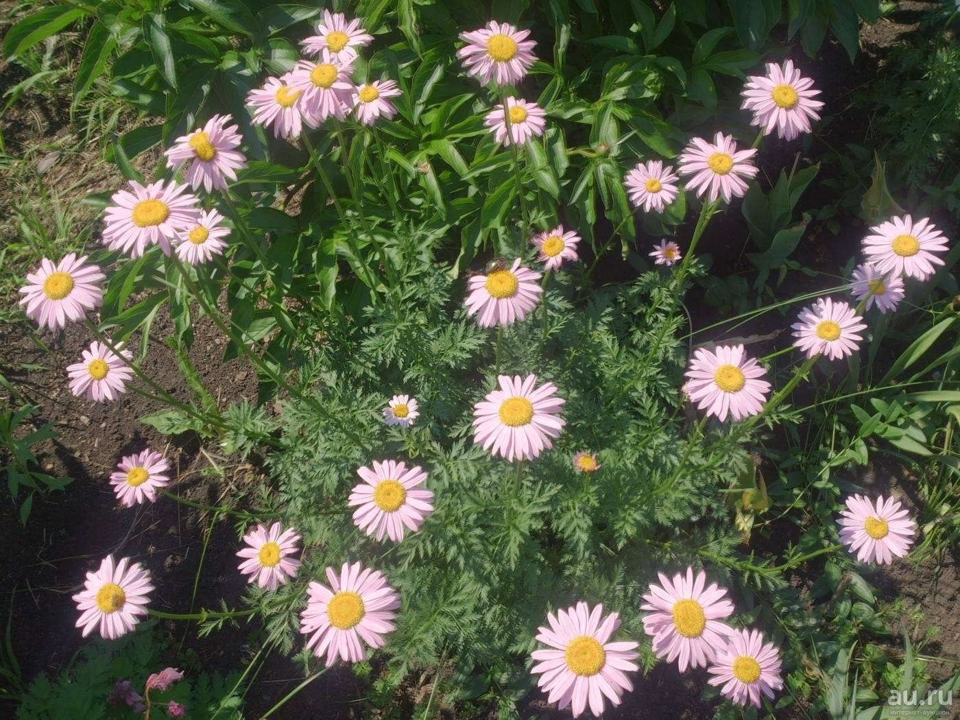 Персидская ромашка выращивание из семян