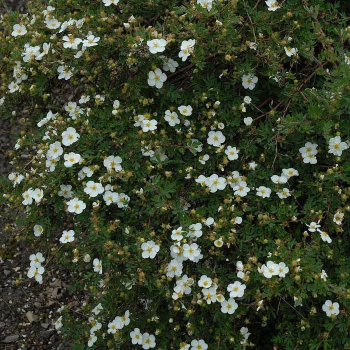 Агротехника выращивания лапчатки голдфингер в открытом грунте: как ухаживать