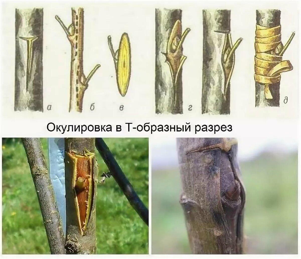 Прививка яблони весной для начинающих садоводов: секреты и пошаговые инструкции со схемами и фото