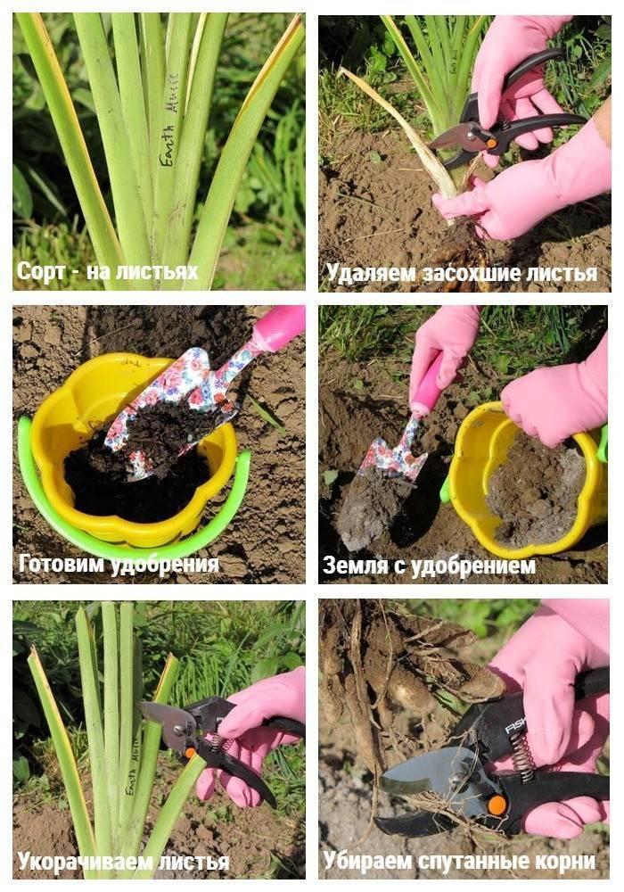 Лилейники: фото цветов, видео посадки, ухода, выращивания в открытом грунте и размножение растений