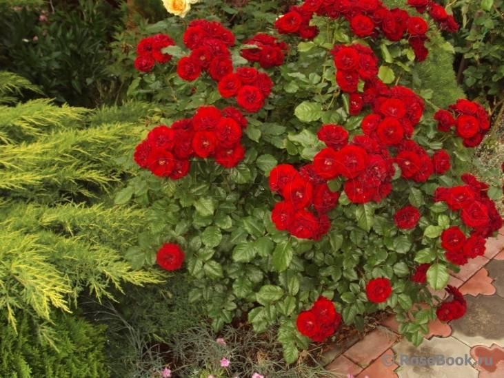Роза «нью даун»: особенности, посадка и уход