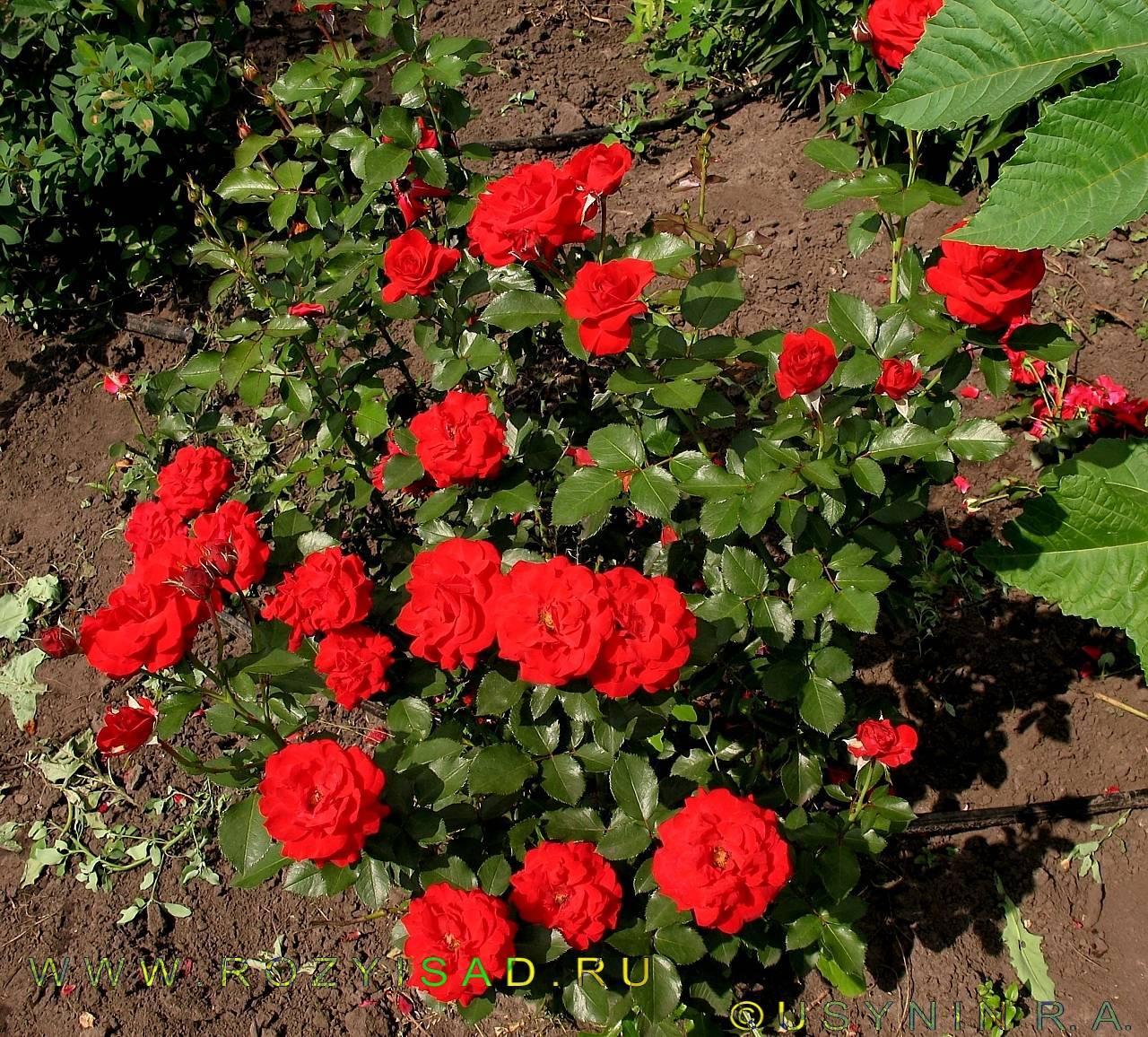 Бордюрные розы (35 фото): сорта с названиями и описаниями, особенности ухода и выращивания, посадка бордюрных роз в саду. как их обрезать и укрыть на зиму?