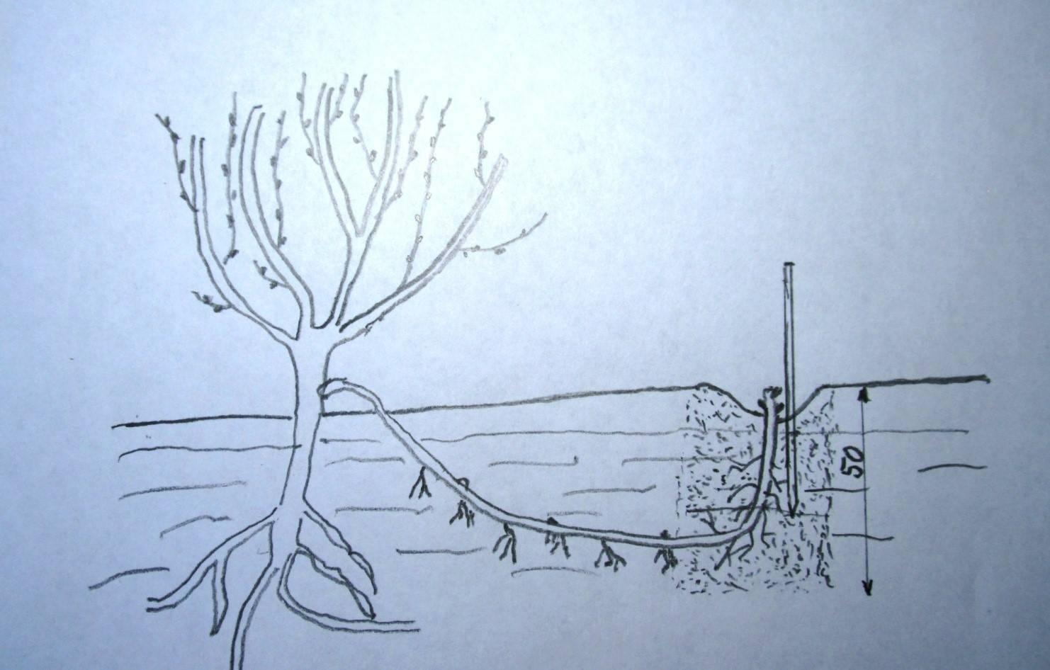 Размножение жасмина черенками, укоренением ветки и делением куста: посадка и уход