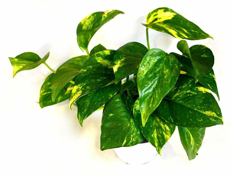 Уход в домашних условиях за комнатным растением — сциндапсус
