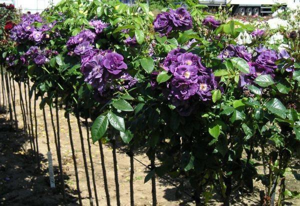 Плетистая роза индиголетта: описание, посадка и уход