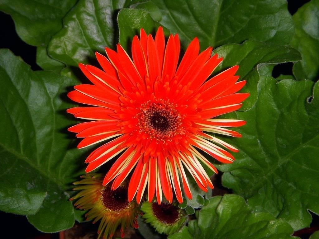 Все про комнатную герберу: фото как выглядит цветок и растет в горшке, описание и правила ухода дома