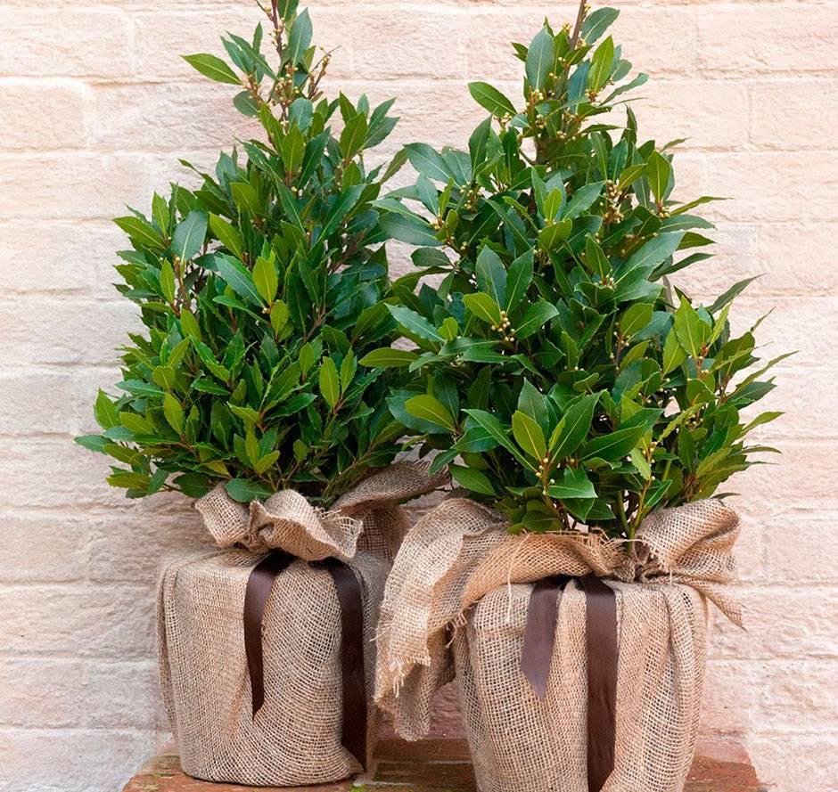 Выращивание и уход за лавровым листом в домашних условиях