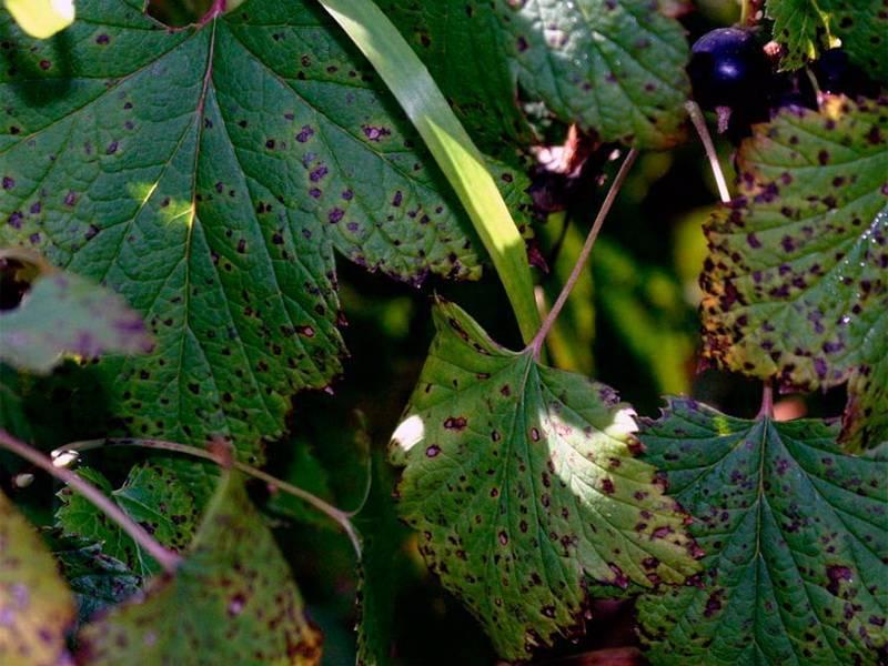 Вредители и болезни крыжовника: описание с фотографиями
