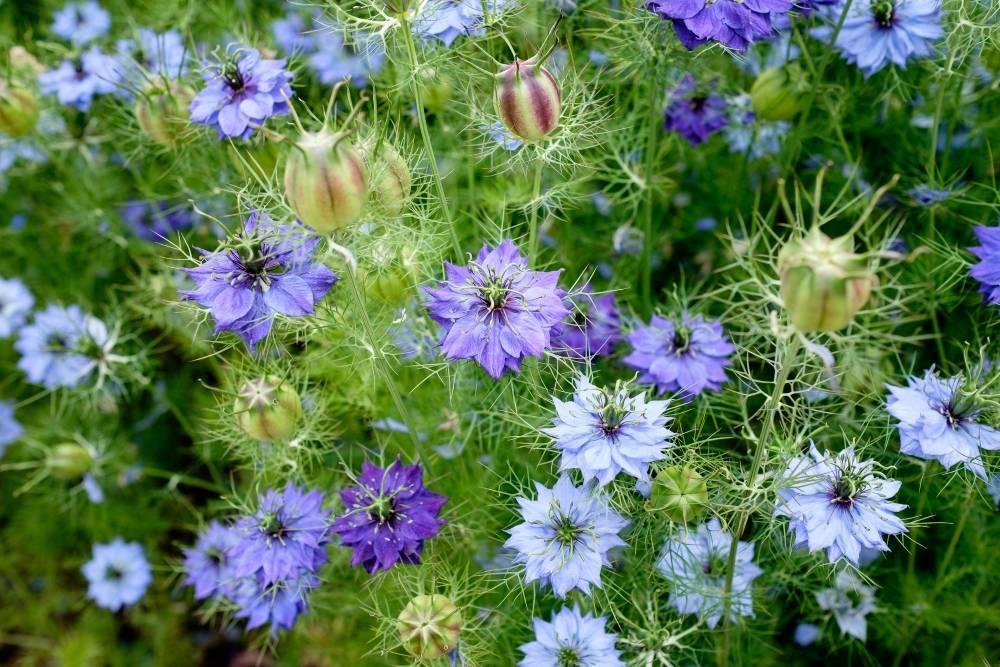 Нигелла дамасская (альбина): описание, выращивание из семян, посадка и уход