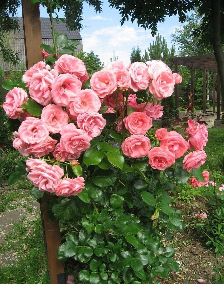 Уход и размножение плетистой розы хендель