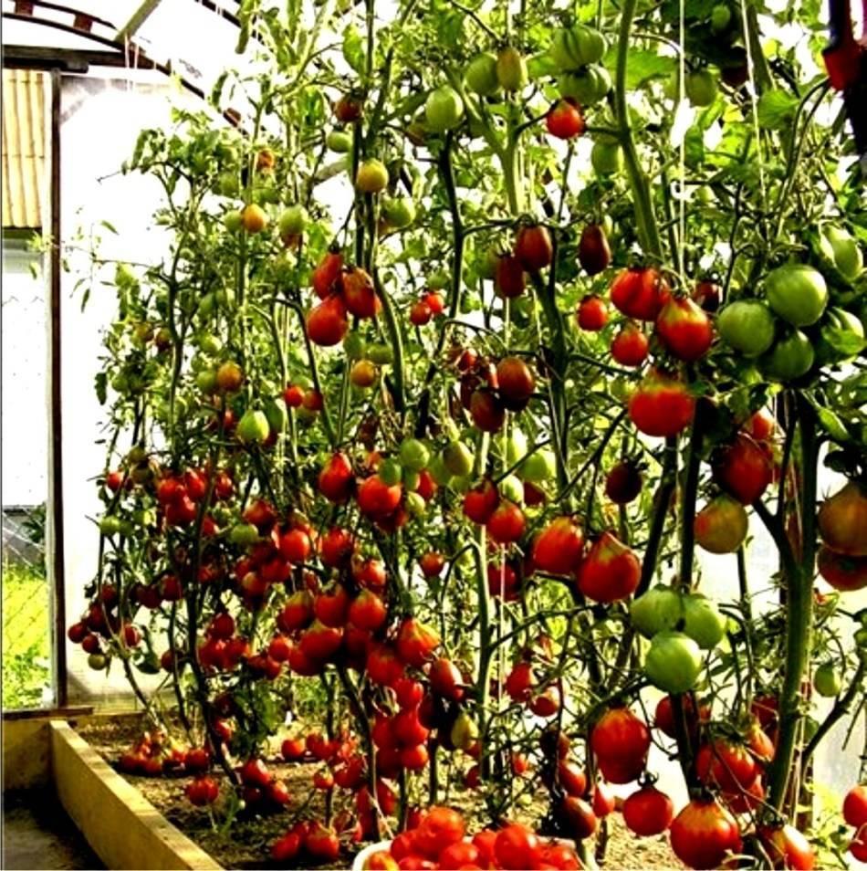 Выращивание томатов от а до я в открытом грунте