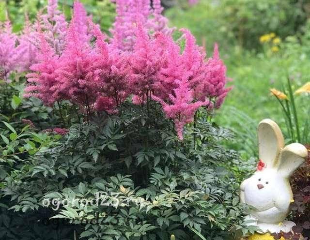 Цветок астильба: посадка и уход