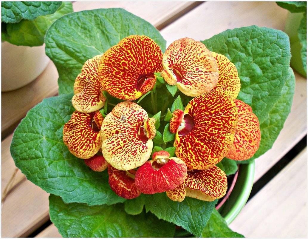 Цветок кальцеолярия выращивание из семян в домашних условиях посадка и уход фото видов